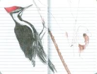 3_pileated-woodpecker-001.jpg